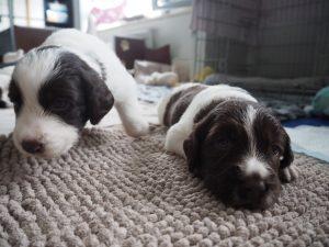 P6240033 300x225 - Puppy Info
