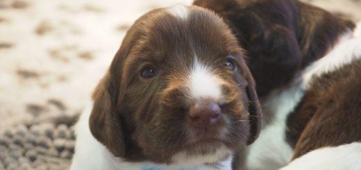 PC150220 520x245 - Dag 20 en 21 van onze pups