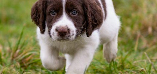 Boris 520x245 - Brief van een mama hond aan de nieuwe eigenaren van haar pup: