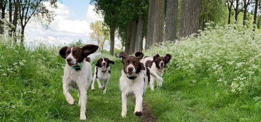 happy dogs 520x245 - Beweging en activiteiten met je Drent!