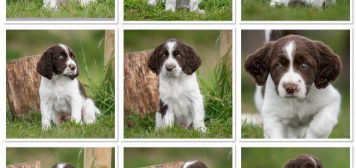 IMG 5979 520x245 - U-nestje : onze puppy's zijn uitgevlogen naar hun forever home