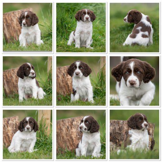 IMG 5979 520x520 - U-nestje : onze puppy's zijn uitgevlogen naar hun forever home